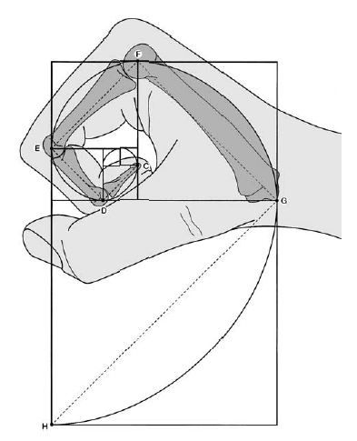 Golden ratio in fingers