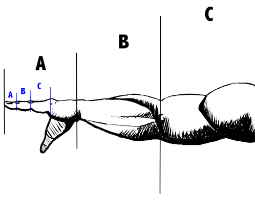 Golden ratio in arm